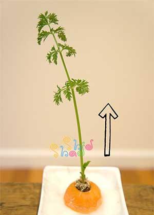 رشد-گیاه